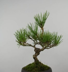 Bonsai Shohin Pin noir du Japon, Pinus thunbergii, no. 6000