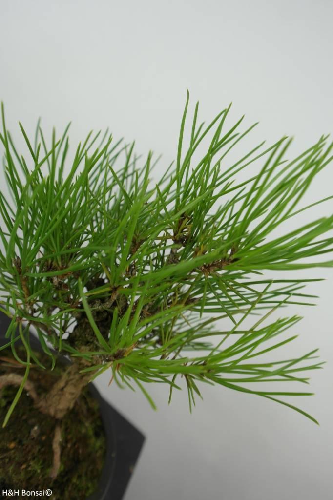 Bonsai Shohin Japanese Black Pine, Pinus thunbergii, no. 6001