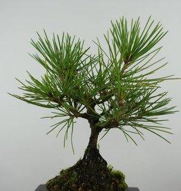 Bonsai Shohin Pin noir du Japon, Pinus thunbergii, no. 6004