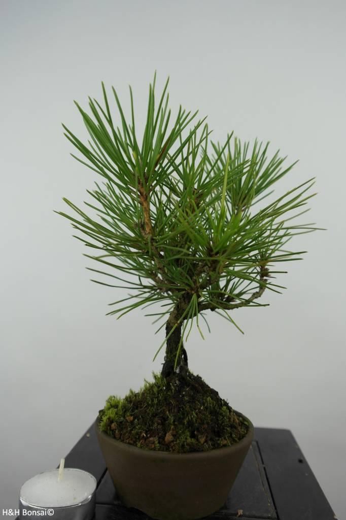 Bonsai Shohin Japanese Black Pine, Pinus thunbergii, no. 6004