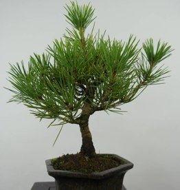 Bonsai Shohin Japanese Black Pine, Pinus thunbergii, no. 6005