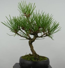 Bonsai Shohin Pin noir du Japon, Pinus thunbergii, no. 6006