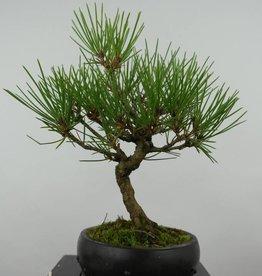 Bonsai Shohin Pin noir du Japon, Pinus thunbergii, no. 6006