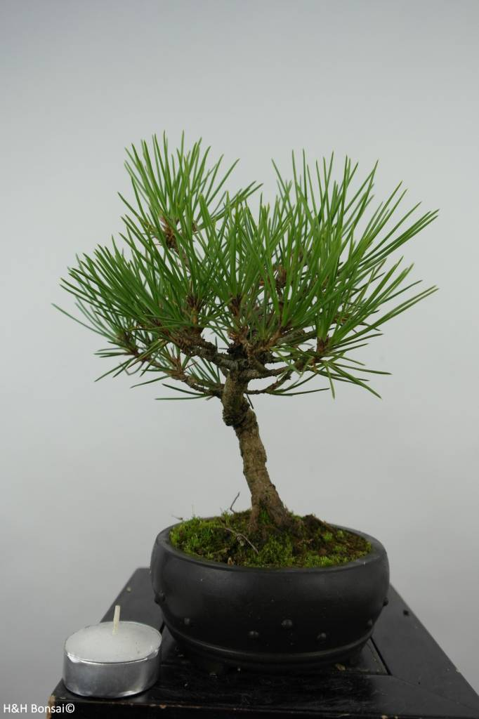 Bonsai Shohin Japanese Black Pine, Pinus thunbergii, no. 6006