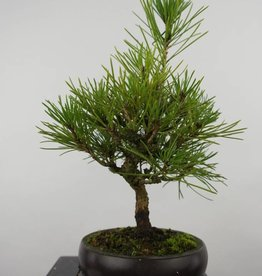 Bonsai Shohin Pin noir du Japon, Pinus thunbergii, no. 6008