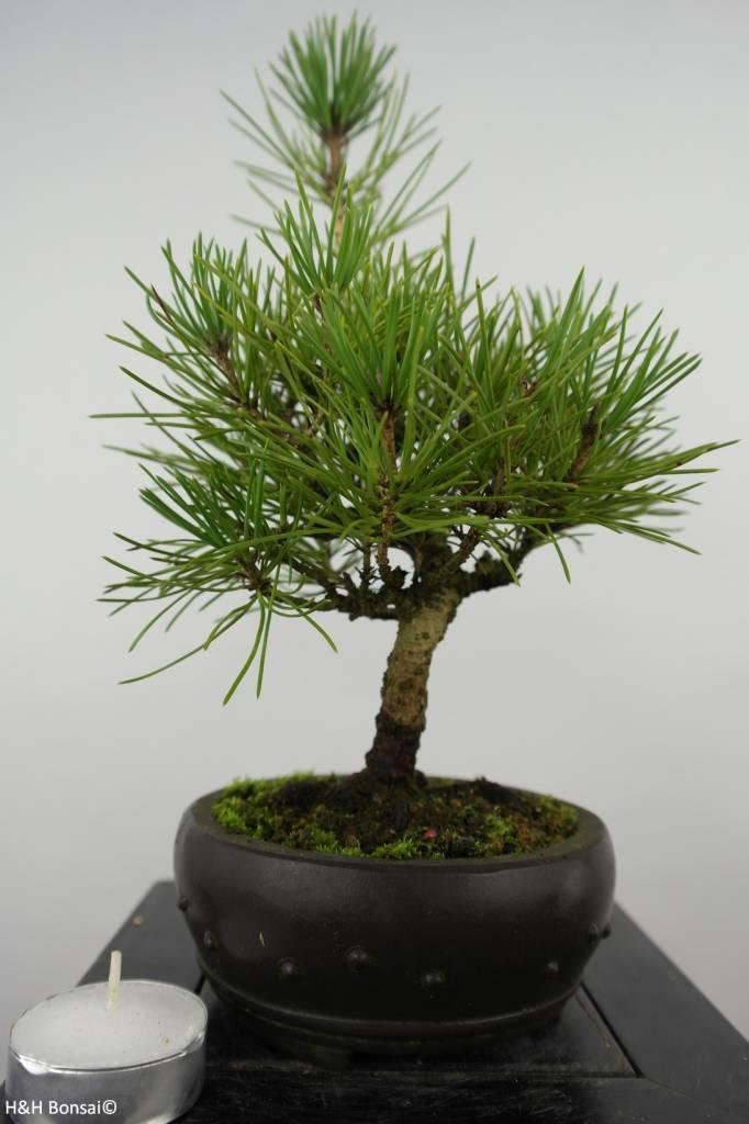 Bonsai Shohin Japanese Black Pine, Pinus thunbergii, no. 6008