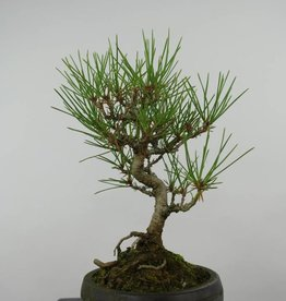 Bonsai Shohin Pin noir du Japon, Pinus thunbergii, no. 6011