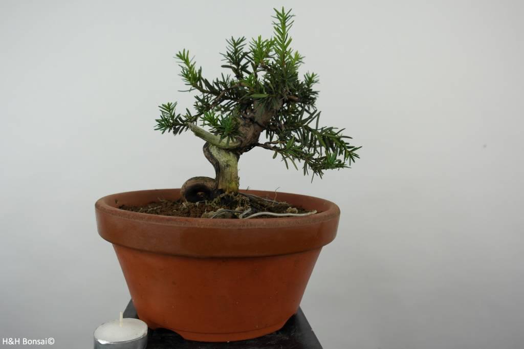 Bonsai L'If du Japon, Taxus cuspidata, no. 6017