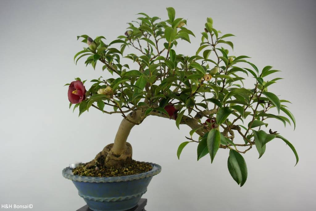 Bonsai Camélia du Japon, Camellia japonica, no. 6020