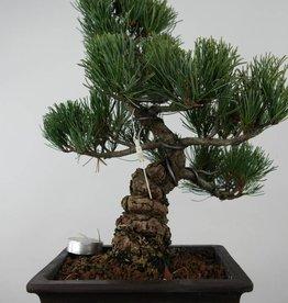 Bonsai Pin blanc du Japon, Pinus parviflora, no. 6027