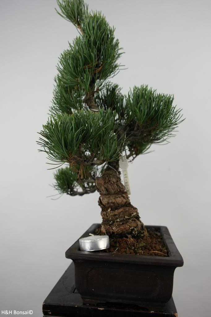 Bonsai White pine, Pinus parviflora, no. 6027