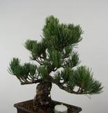 Bonsai White pine, Pinus parviflora, no. 6033