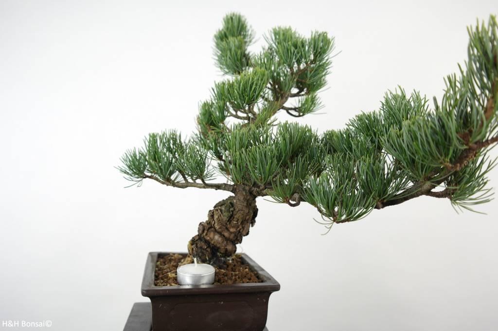 Bonsai White pine, Pinus parviflora, no. 6038