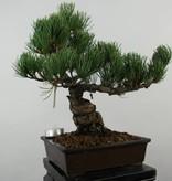 Bonsai White pine, Pinus parviflora, no. 6040