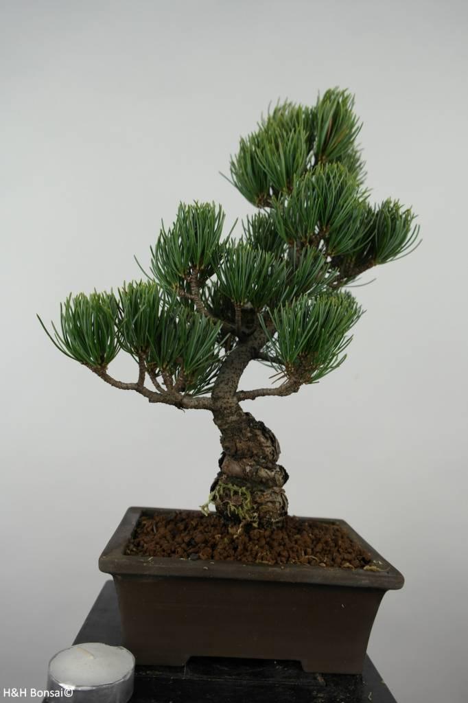 Bonsai Pin blanc du Japon, Pinus parviflora, no. 6055