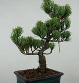 Bonsai Pin blanc du Japon, Pinus parviflora, no. 6056