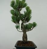 Bonsai White pine, Pinus parviflora, no. 6056