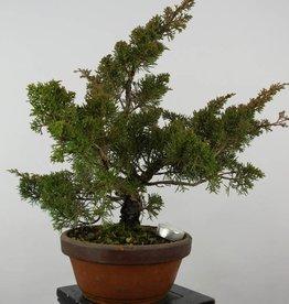 Bonsai Genévier de Chine itoigawa, Juniperus chinensis itoigawa, no. 6078
