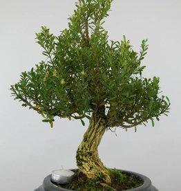 Bonsai Buis, Buxus sempervirens, no. 6085