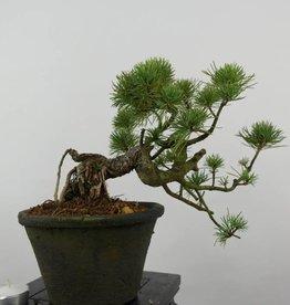 Bonsai Shohin Pin blanc du Japon, Pinus parviflora, no. 6089
