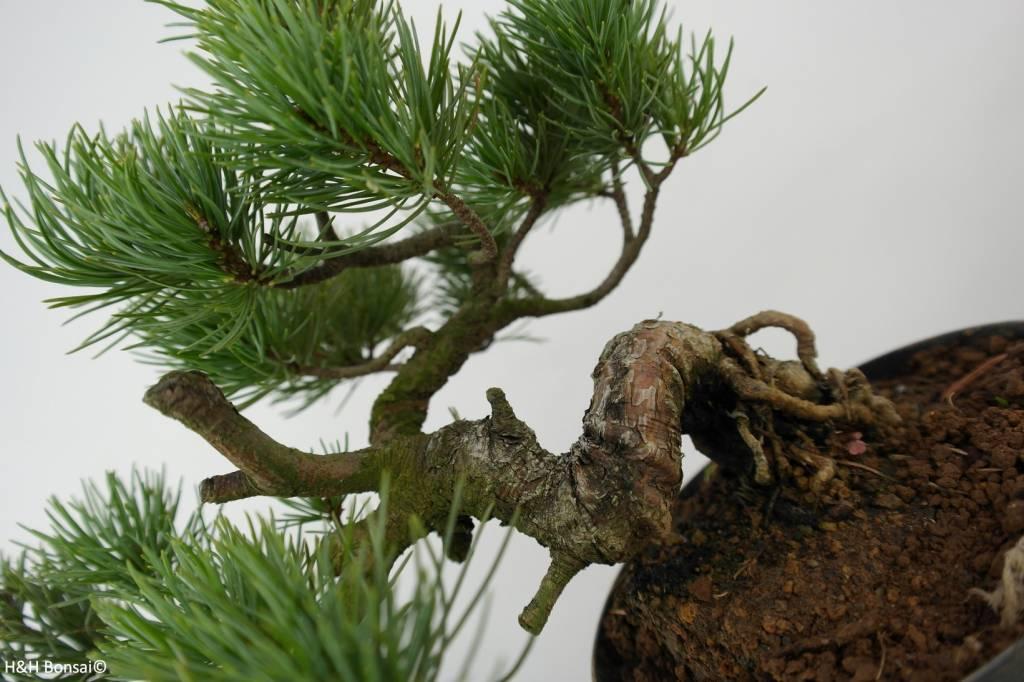 Bonsai Shohin White pine, Pinus parviflora, no. 6090