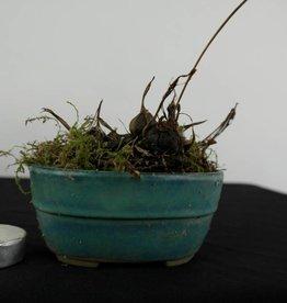 Orchidée, Pleione formosana, no. 6104