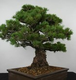 Bonsai White pine, Pinus parviflora, no. 6177