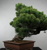 Bonsai Pin blanc du Japon, Pinus parviflora, no. 6178