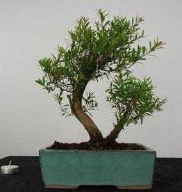 Bonsai Syzygium sp. , no. 6249