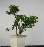 Bonsai Houx japonais, Ilex crenata, no. 6256