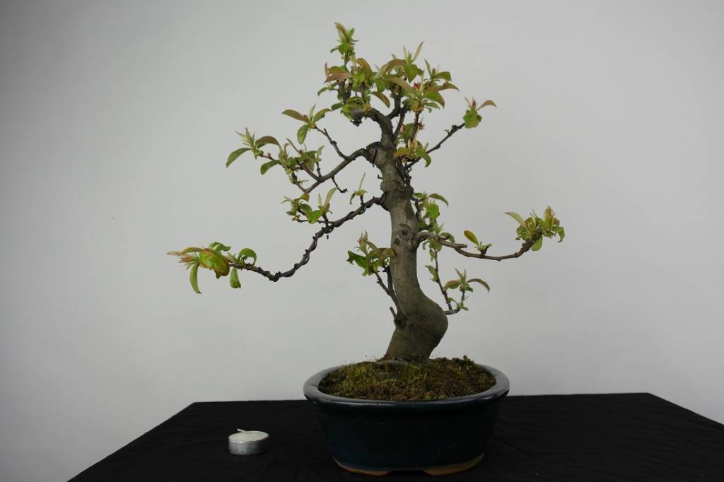 Bonsai Chaenomeles sinensis, no. 4558