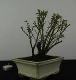 Bonsai Serissa variegata, no. 6322