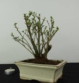 Bonsai Neige de juin, Serissa foetida variegata, no. 6322