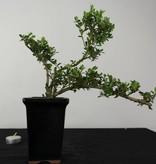 Bonsai Japanese Holly, Ilex crenata, no. 6381