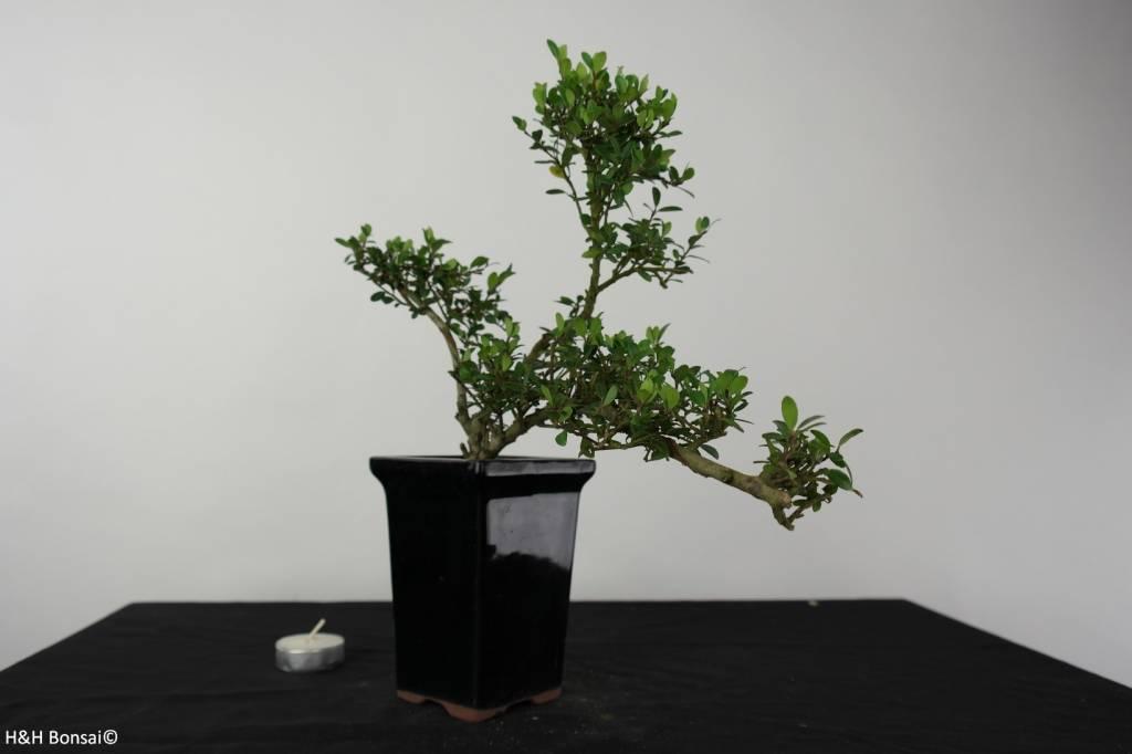 Bonsai Houx japonais, Ilex crenata, no. 6381