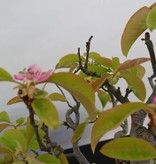 Bonsai Quince, Cydonia oblonga, no. 5234