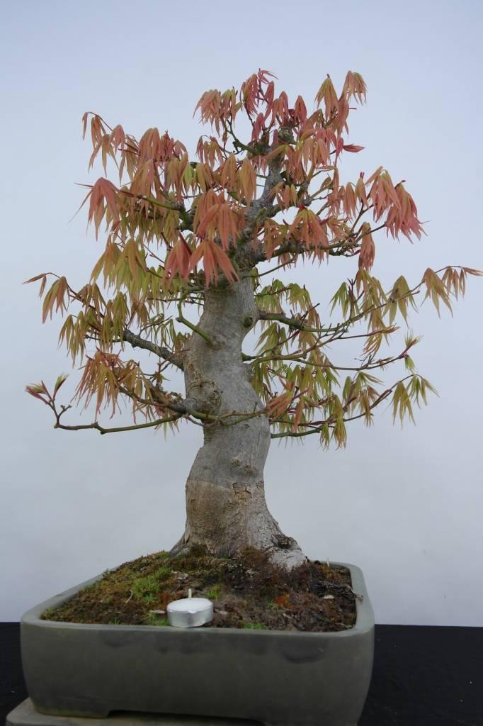 Bonsai L'Erable du Japon, Acer palmatum, no. 5805