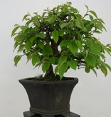 Bonsai Quince, Cydonia oblonga, no. 5662