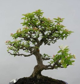 Bonsai Crabapple, Malus zumi, no. 5854