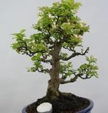 Bonsai Le Pommier, Malus zumi, no. 5854