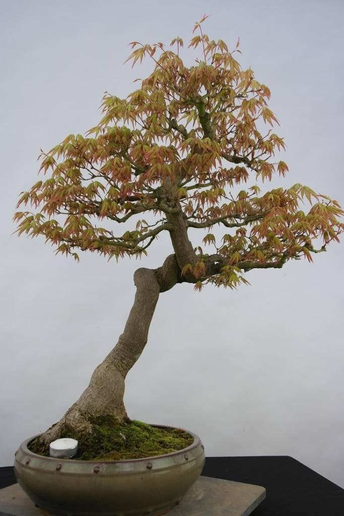 Bonsai l 39 erable du japon acer palmatum no 5806 - L erable du japon ...