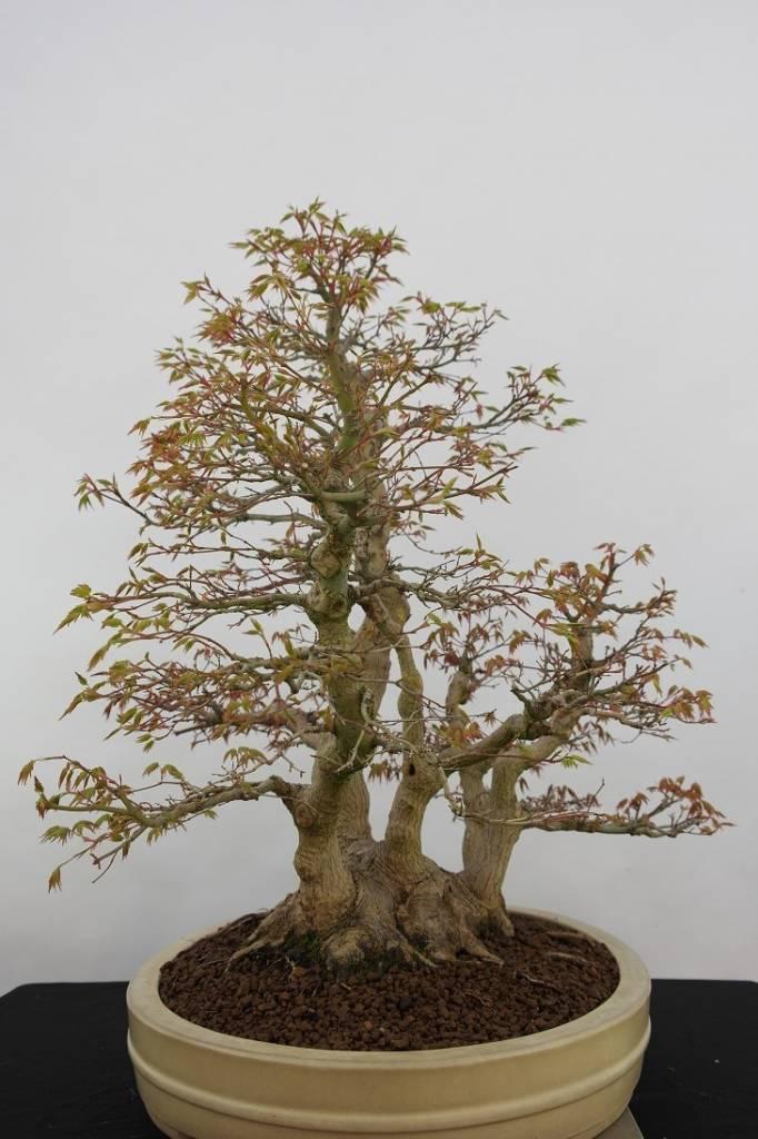 bonsai l 39 erable du japon acer palmatum no 5853. Black Bedroom Furniture Sets. Home Design Ideas