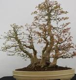 Bonsai Japanese maple, Acer palmatum, no. 5853