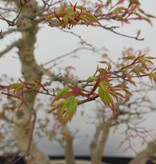 Bonsai L'Erable du Japon, Acer palmatum, no. 5853