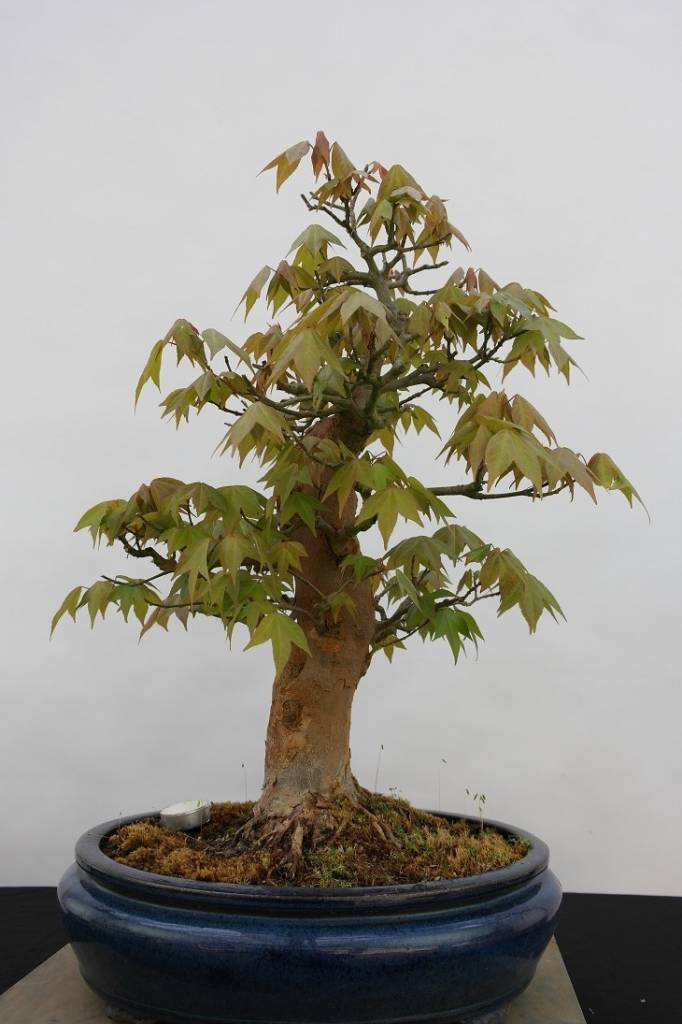 Bonsai Japanese maple, Acer palmatum, no. 5545