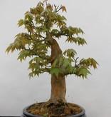 Bonsai L'Erable du Japon, Acer palmatum, no. 5545