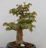 Bonsai Japanese maple, Acer palmatum, no. 5545