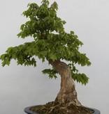 Bonsai Trident maple, Acer buergerianum, no. 5289