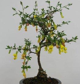 Bonsai Caraganier de Sibérie, Caragana sp., no. 6398