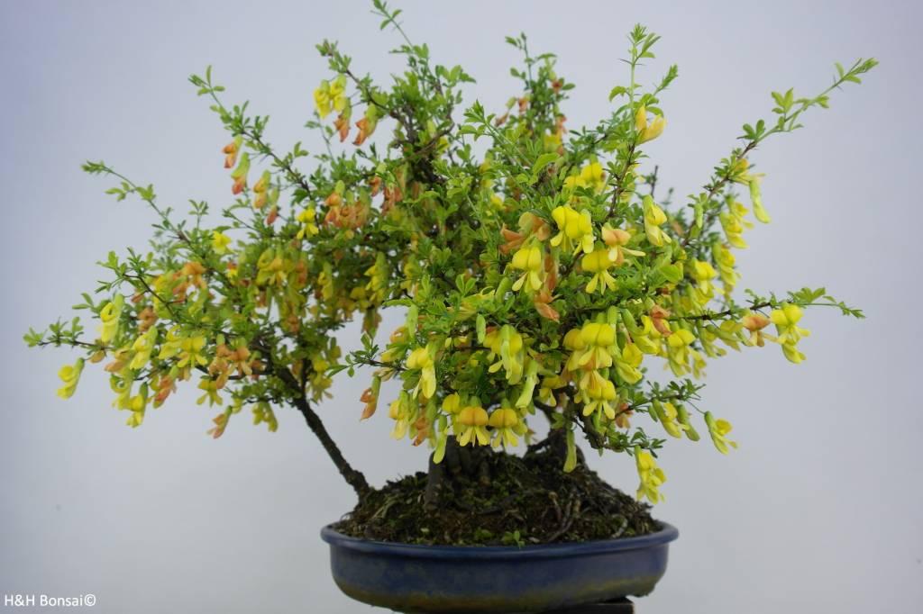 Bonsai Siberian pea-tree, Caragana sp., group, no. 6403